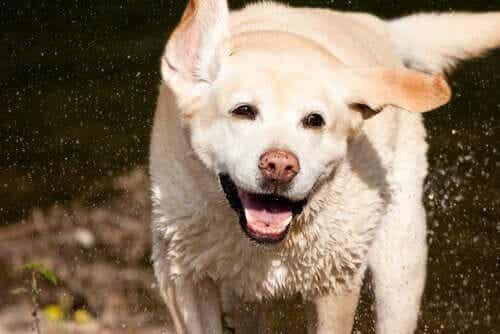 En leken labrador er et barns beste venn.