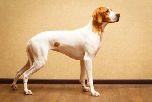 Korthårede hunderaser som krever mindre stell!