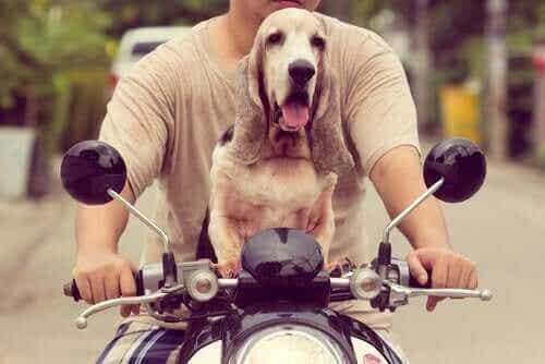 Lær hvordan du kan kjøre motorsykkel med hunden din!