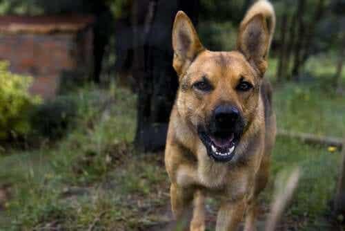 Rabies hos hunder: Symptomer og behandling