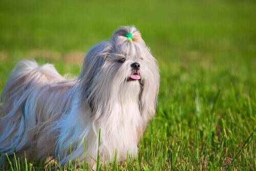 En hund på en plen