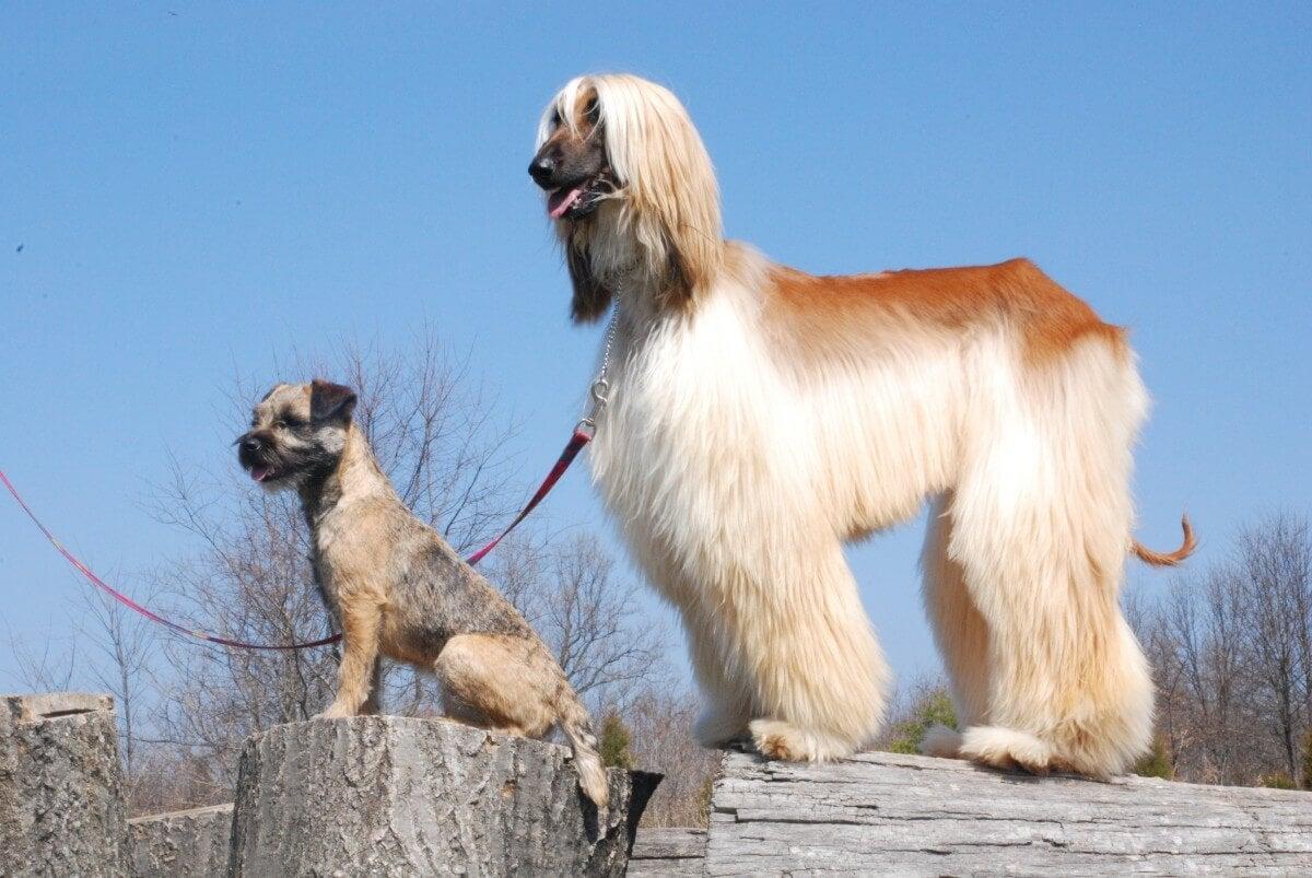 Afghansk mynde - hårete hunderaser