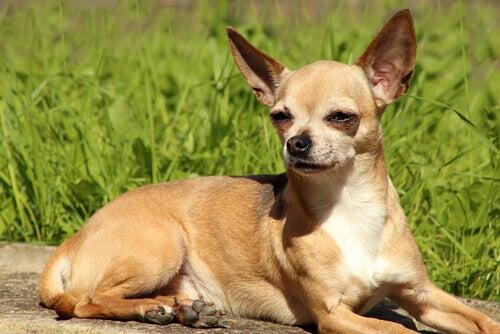 Chihuahua er en av de mest populære rasene blant kjendiser