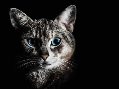 En katt med blå øyne