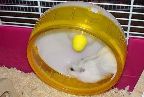 Hamsterhjul - hvorfor er hamstere gale etter dem?