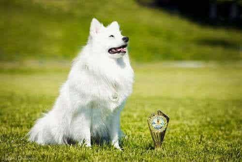 japansk spisshund, japanske hunderaser