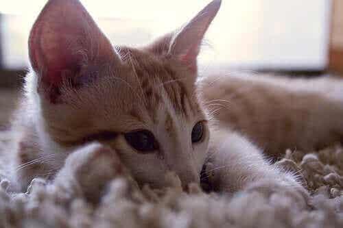 Lær deg å forstå lydene som katter lager