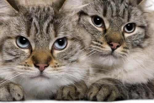 To gråstripete katter