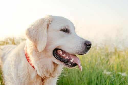 En Golden Retriever er blant de mest populære hunderasene