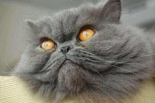 De mest populære katterasene som finnes