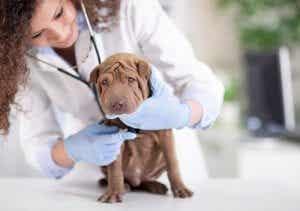 En sharpei-valp hos veterinæren