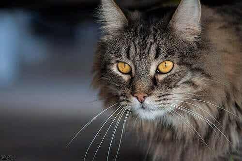 En katt som ser på kameraet