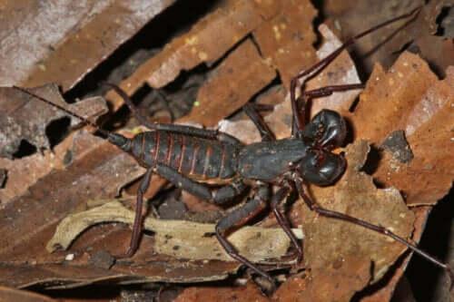 Beskrivelse av og habitatet til gruppen svepeskorpioner