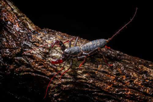 En svepeskorpion på en stokk
