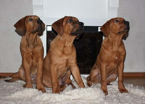 Tosa, japanske hunderaser
