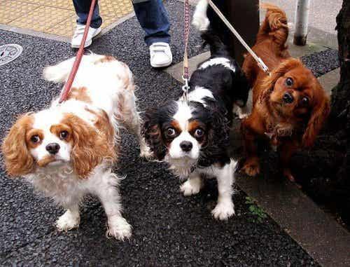 En person med tre hunder i bånd