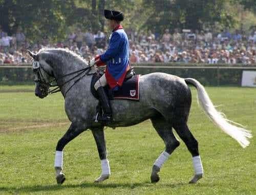Den elegante hesterasen holsteiner som deltar i dressur.