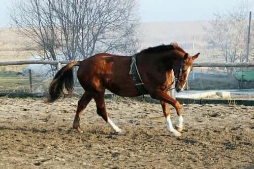 Den virkelig elegante hesterasen holsteiner