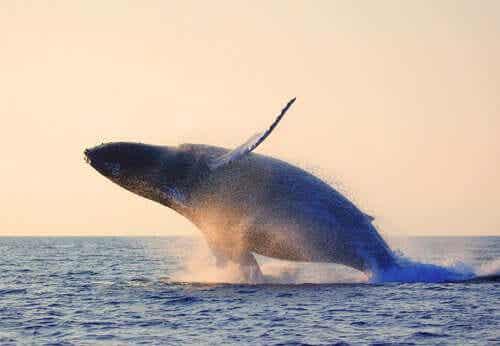 En blåhval som hopper i havet.