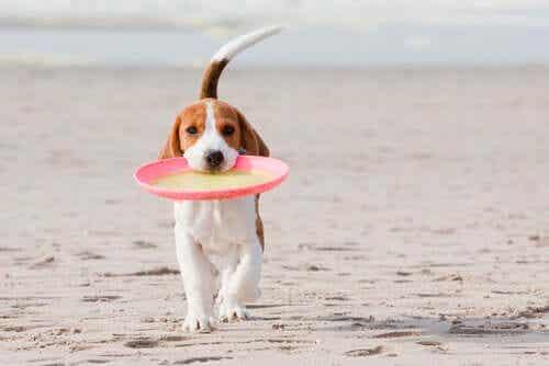 En hund som går på stranden med en frisbee i munnen.