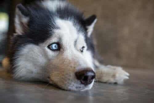 En hund som ligger på gulvet.