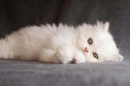 Kategori 1-katter fra FIFe-klassifiseringen av katteraser