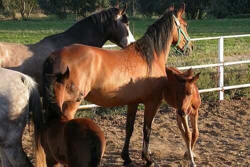 Hester i en innhegning.