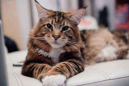 Kategori 2-katter fra FiFe-klassifiseringen av katteraser