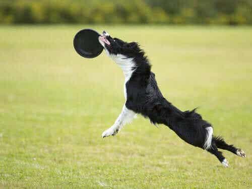 Leker å leke i parken med hunden din: Hundefrisbee