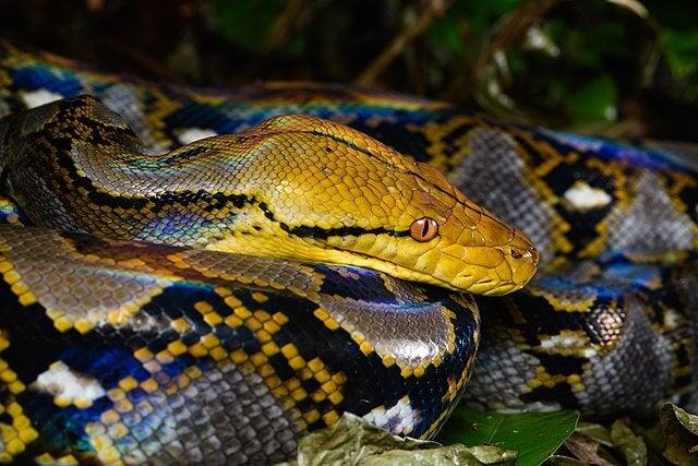 nettpyton er en av de største slangene i verden