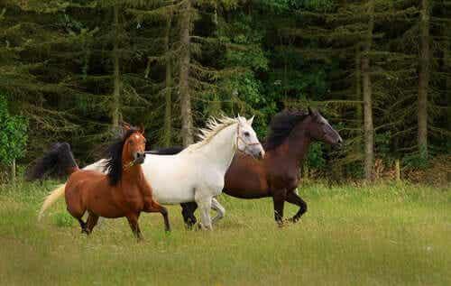 Tre hester som løper på en eng.