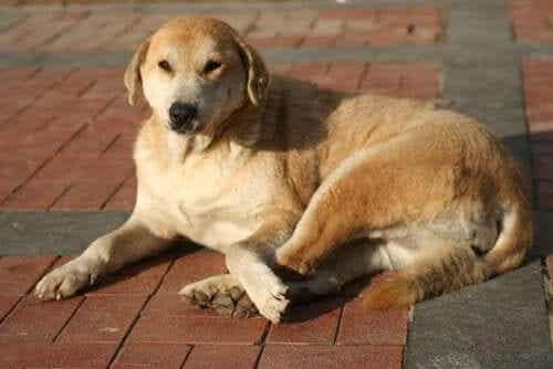 anatolsk gjeterhund fra det sentrale Tyrkia
