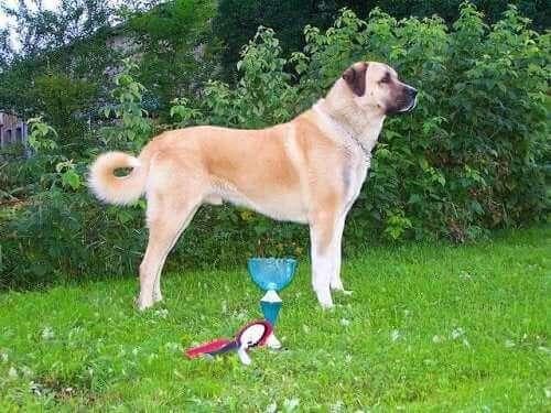 Hunderasen anatolsk gjeterhund fra det sentrale Tyrkia