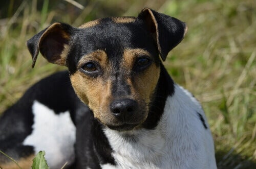 Brasiliansk terrier er blandt hunderaser i gruppe 3