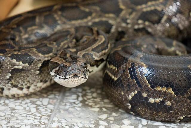 Burmesisk pyton er en av de største slangene i verden
