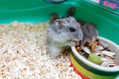 Alt du trenger å vite om oppførselen til hamstere