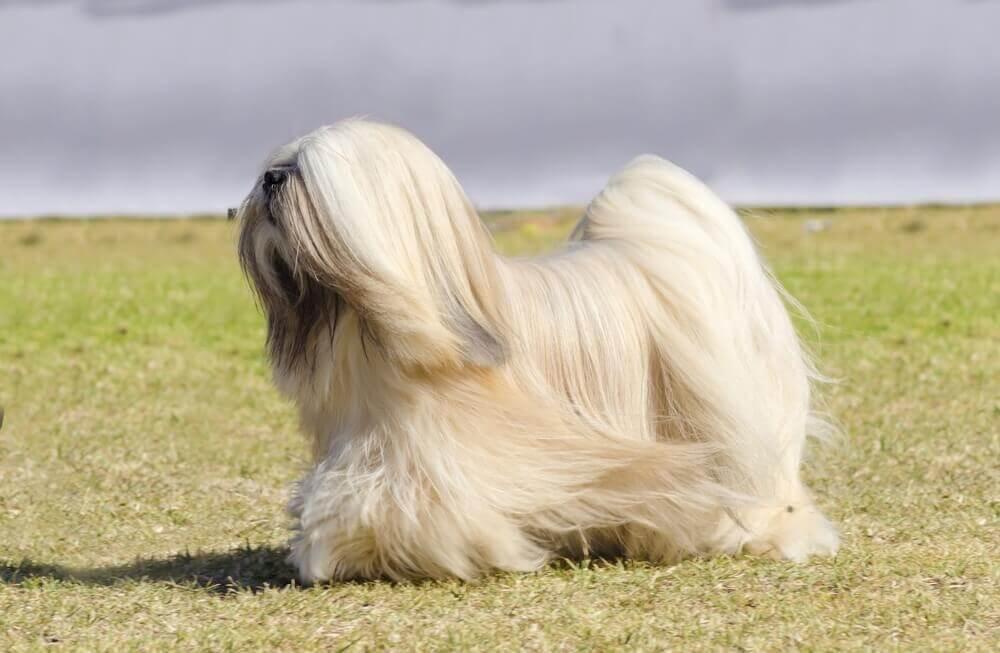 Lhasa apso er blant de brachycephaliske hunderasene