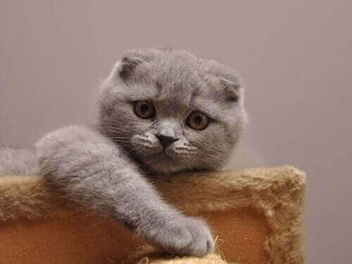 Scottish fold: Verdens søteste katt