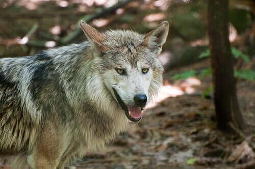 En ulv