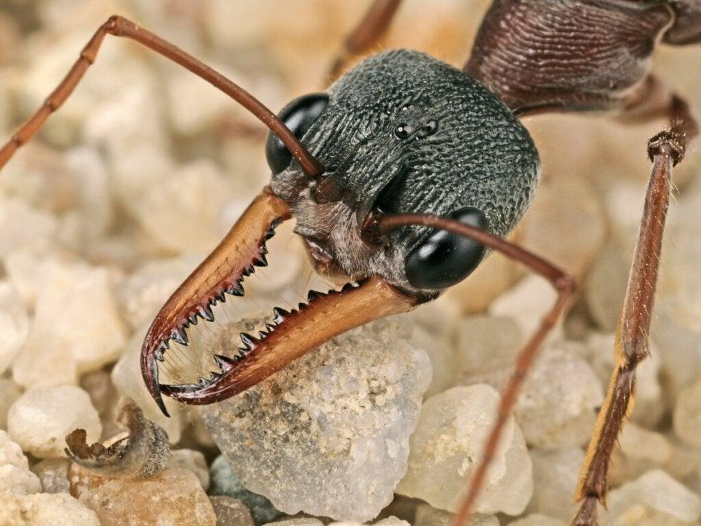 Betydningen av maur i økosystemer