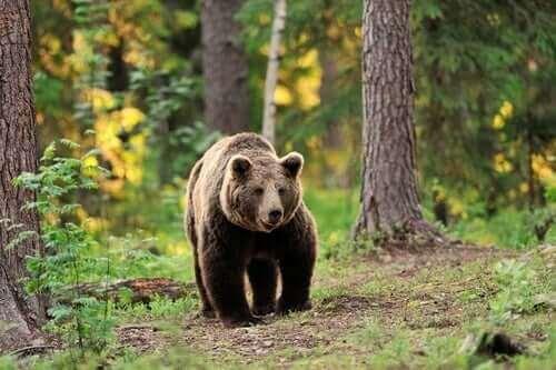 De åtte vanligste bjørneartene i verden
