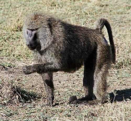 En bavian som spiser fra bakken.