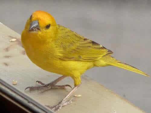 En gul fugl.
