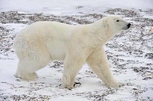 En isbjørn.