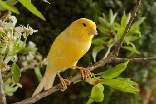 Et eksemplar av gul kanarifugl som sitter på en gren.