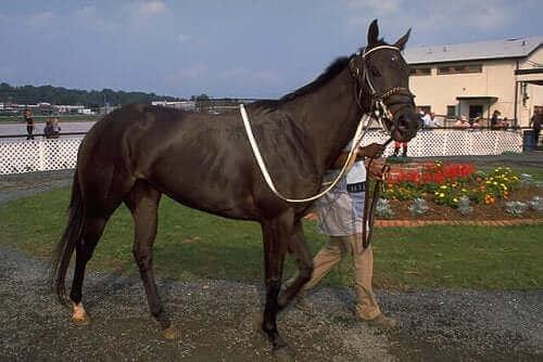Engelsk fullblodshest - Hesten som er avlet for veddeløp