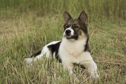 Hunderaser som er midlertidig anerkjent av FCI