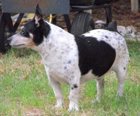 Teddy roosevelt terrier: Alt om denne rasen