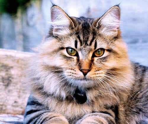 En amerikansk bobtail-katt