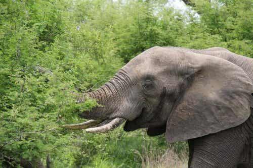 En elefant som spiser planter